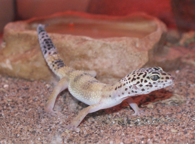 Gecko water bowl cropt 06 02 09
