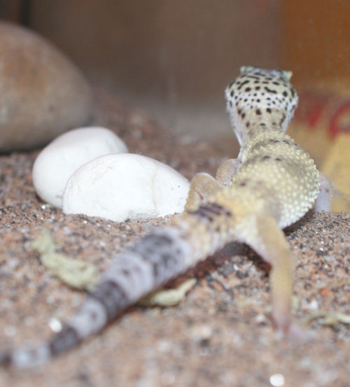 Gecko rear view