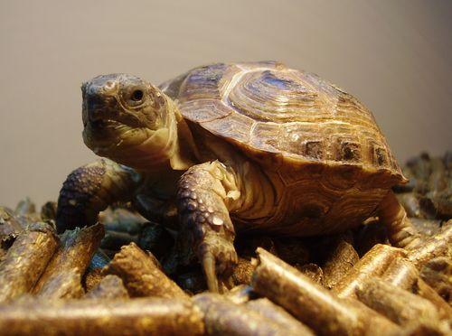 Tortoise cropt