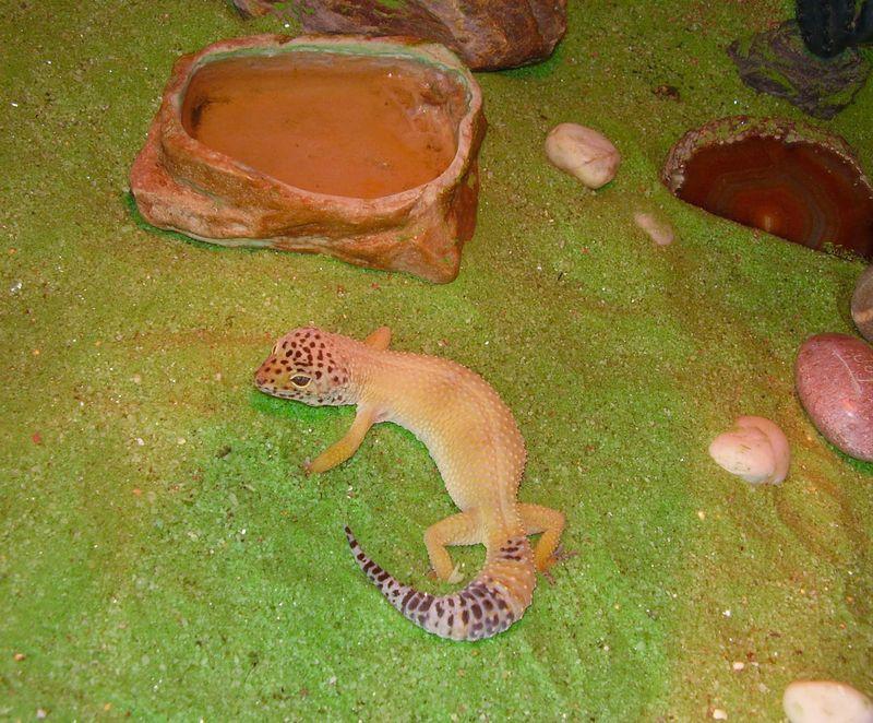 Garrick gecko web