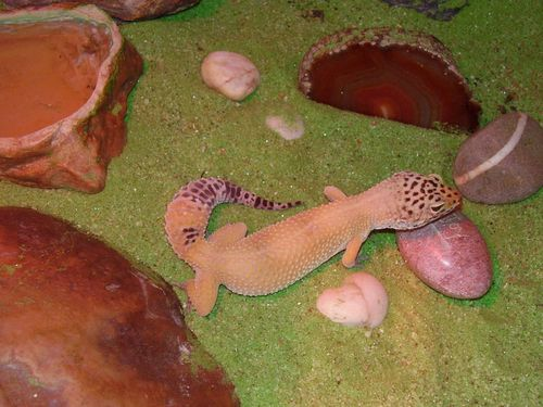 Garrick the leopard gecko web