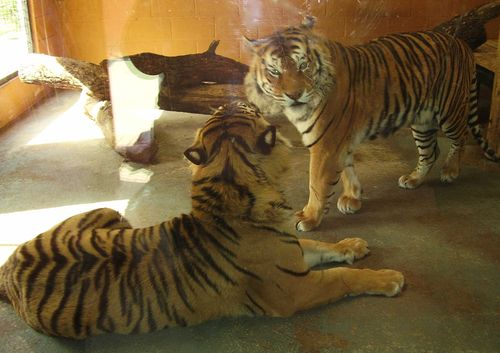 2 tigers web